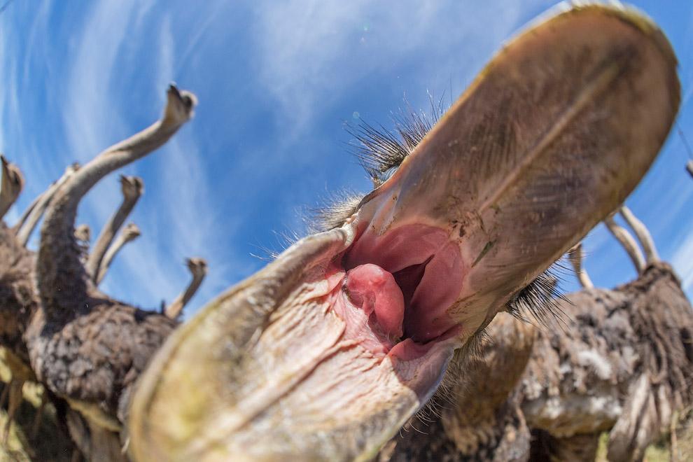 5. Легенда, что напуганный страус прячет голову в песок, вероятно, происходит от того факта, чт