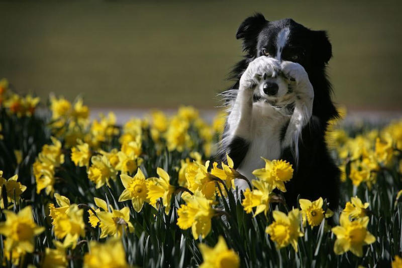 This seven-year-old sheep dog named Twig performs tricks for photographers among daffodils in Birmin