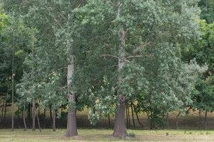 Тополь белый (Populus alba)