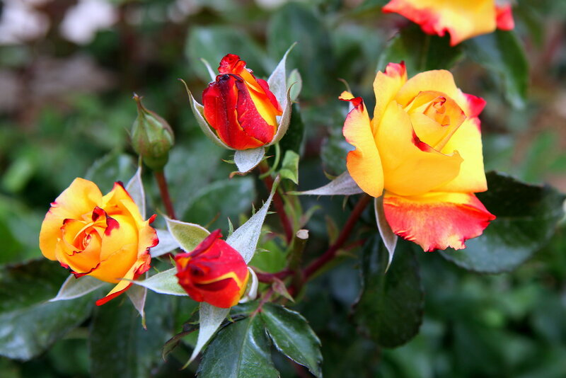 Розы Персеполиса