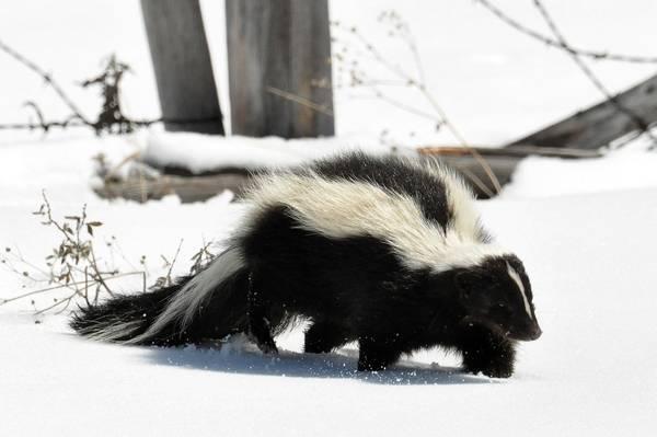Самые вонючие животные (14 фото)