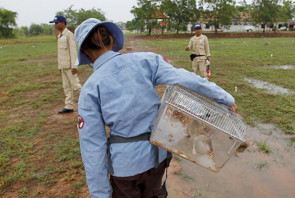 9. Крысы бегают по тренировочному «минному «полю» не хаотично, а вдоль специальных направляющих