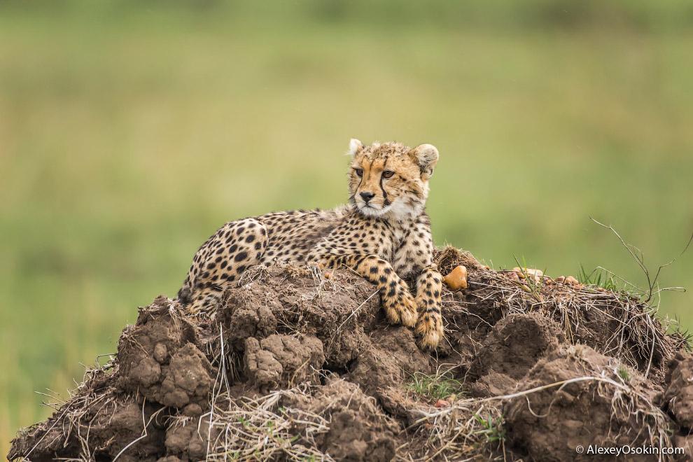 5. Во время охоты гепард медленно и долго преследует свою жертву, стараясь приблизиться к ней м