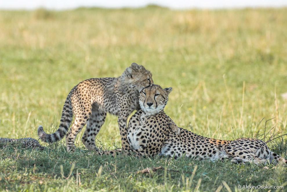 10++. Гепард, пожалуй, самый общительный и хорошо уживающийся с человеком представитель диких к