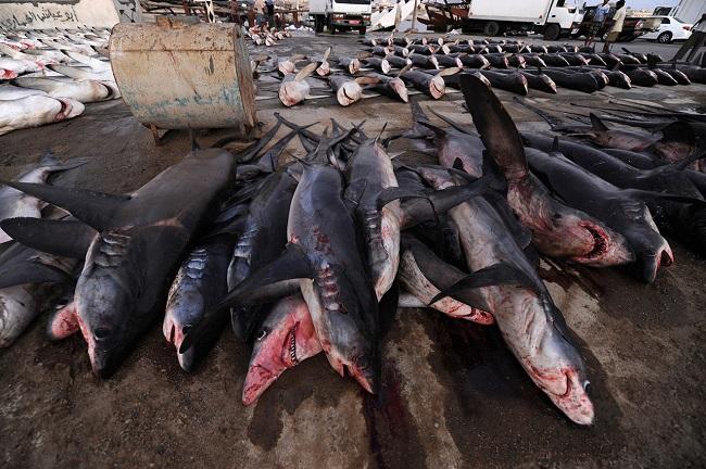 Продавец срезает спинной плавник у акулы на рыбном рынке в Дубае.