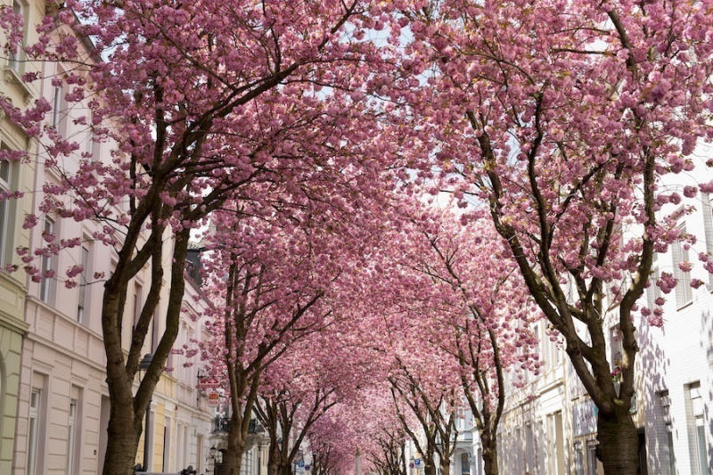 Blooming cherry blossom trees are seen in the streets of the historic district on April 18, 2016 in
