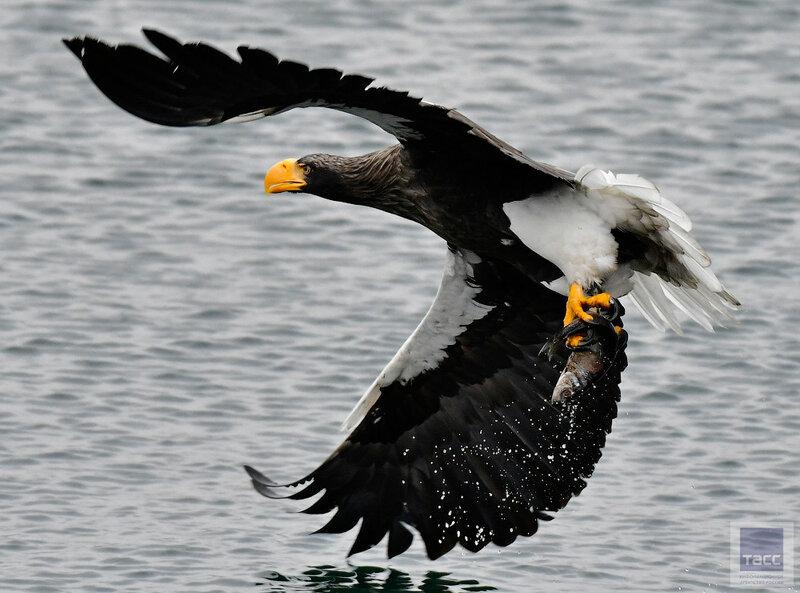 Съемки белоплечих орланов в бухте Золотой Рог во Владивостоке