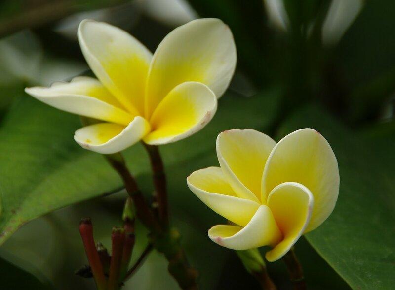 frangipani2.jpg
