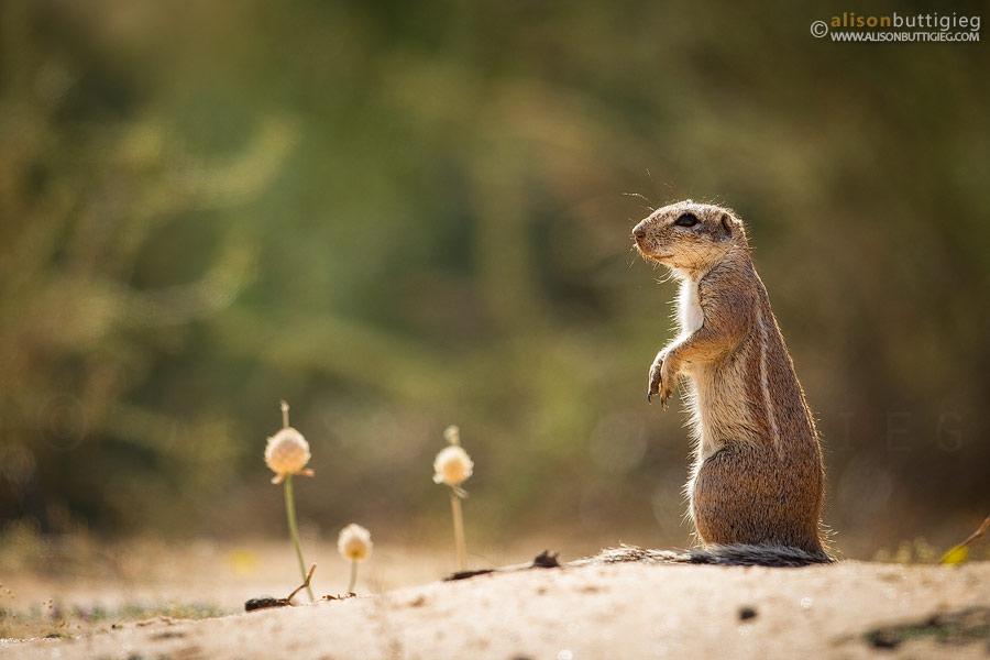 Замечательные портреты животных от Элисон Баттигиг
