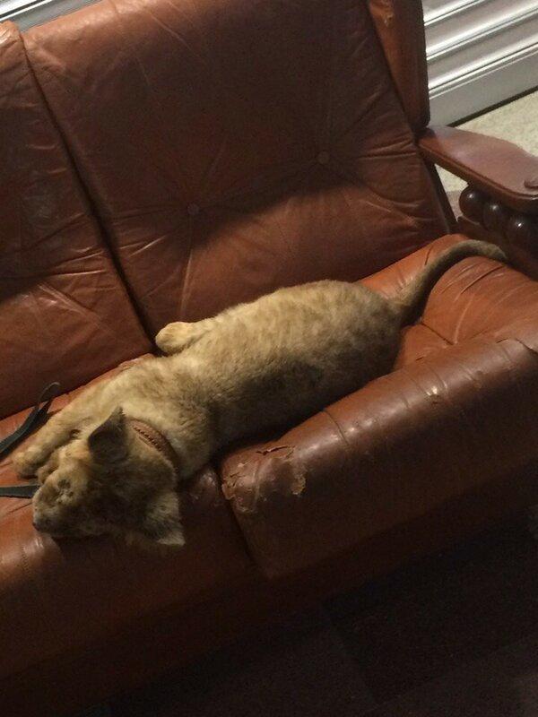 Интернет-пользователи обвиняют организаторов фотосессий со львенком в одном из торговых центров Твери в жестоком обращении с животными