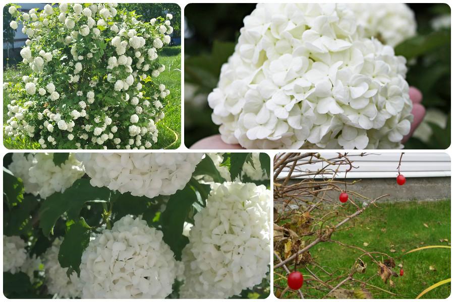 12 Многолетников для цветников, не требующие ухода-моя калина Буль-де-неж