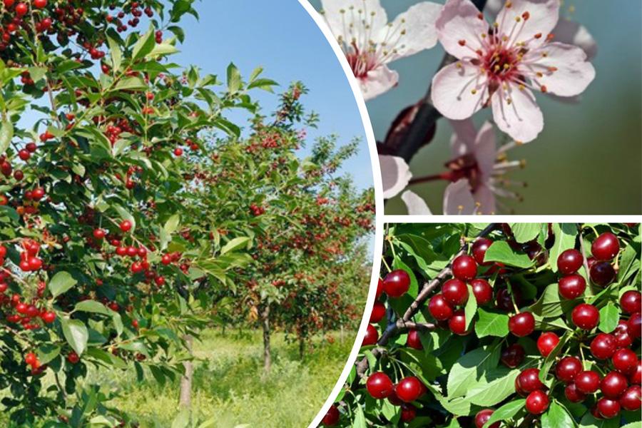 Почему у вишни опадает завязь и что делать