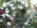 Розы  .jpg