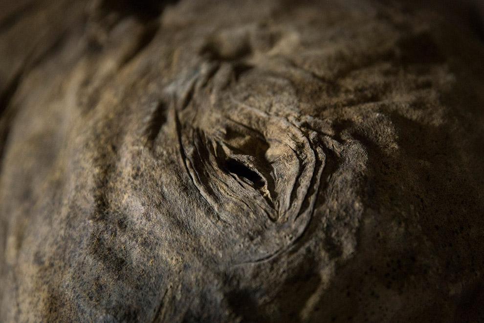 В свое время мамонты достигали высоты 5.5 метров и массы тела 10—12 тонн. Таким образом, мамонт
