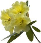 MAS-Flowers_Rhododendron_02062008.png