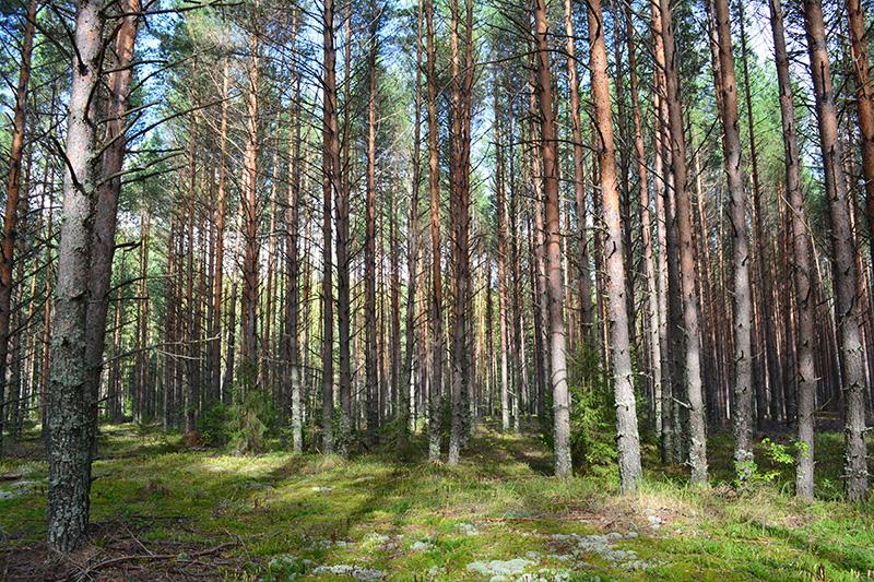 мой солнечный лес.jpg