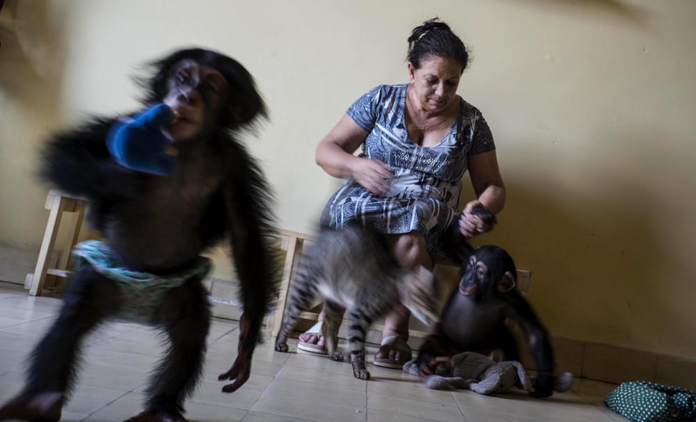 Кубинский зоолог выхаживает 10 маленьких шимпанзе в своей квартире