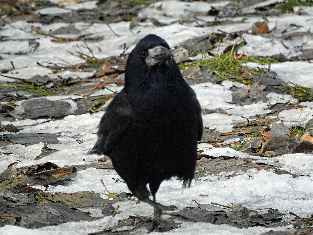 Грач (Corvus frugilegus). Автор фото: Андрей Якименко