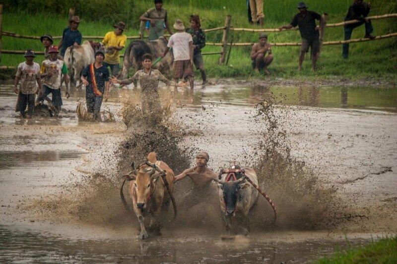 И снова очередные гонки на быках в Индонезии