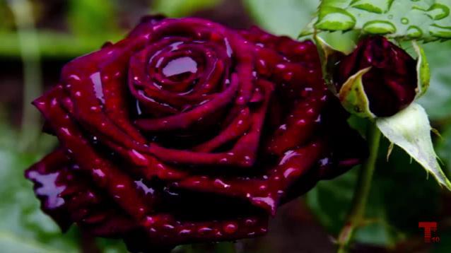 Фото роз самых красивых