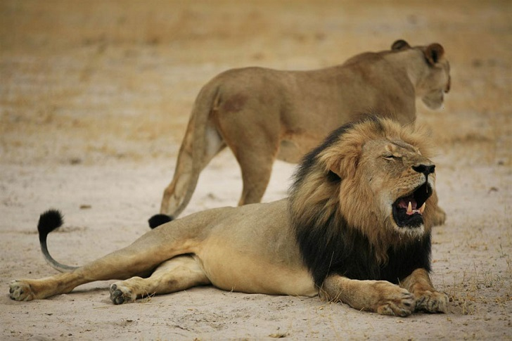 Американец, убивший известного льва, вызвал ярость в интернете и закрыл свой стоматологический кабинет (12 фото)