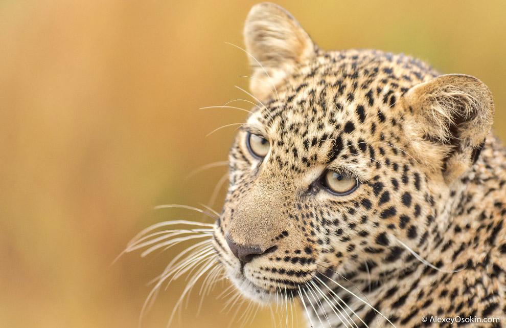 17. А вот наш — дальневосточный красавец леопард.