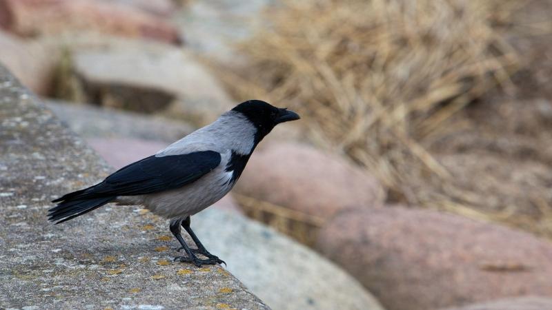 В северной столице проверяют места гнездования серых ворон