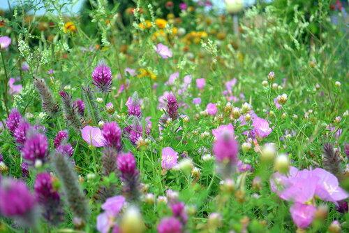 Полевые цветы.Клевер