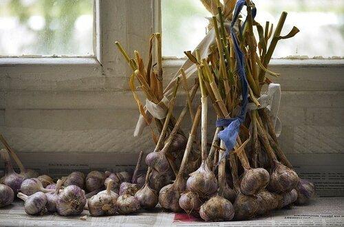 Озимый чеснок после сбора урожая и просушки.