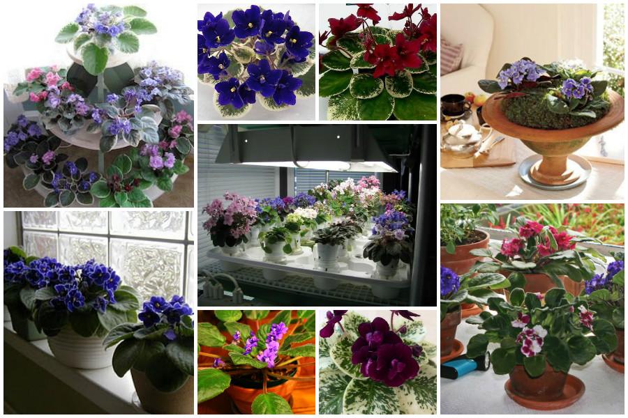 Уход и выращивание комнатных фиалок 60