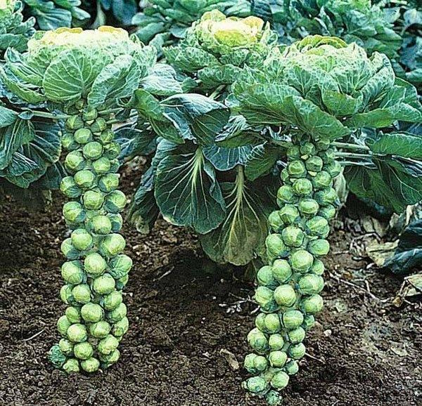 Как растет брюссельская капуста