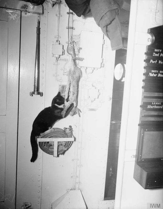 """1940, or 1941, on board HMS Kelvin. The ship's cat """"Splinters"""" playfully attacks a recently shot rabbit while hanging."""