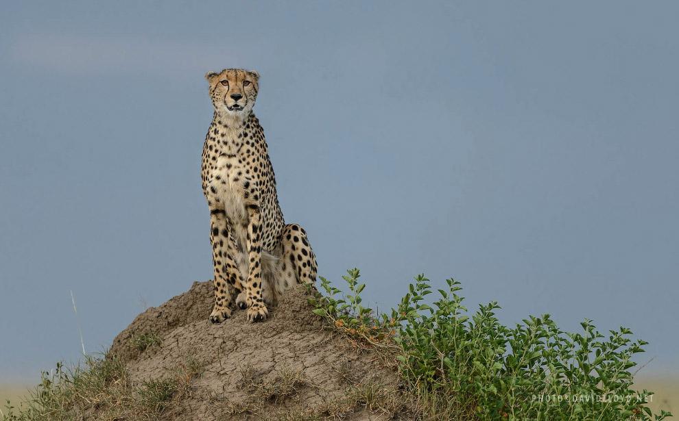 7. Леопарды.