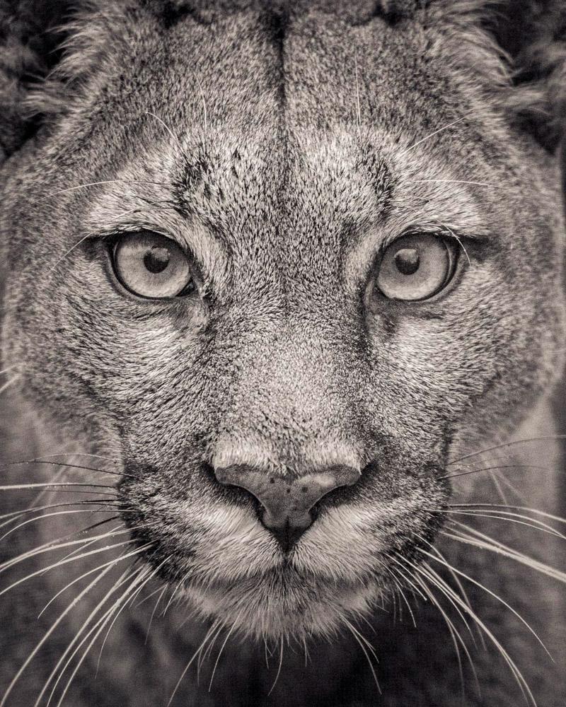 P.S. Самая редкая дикая кошка — дальневосточный леопард. Когда-то этот подвид леопардов прожива