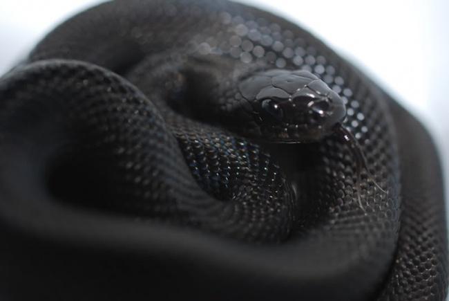 © Imgur  Идаже назолотую рыбку, которая вдруг стала черной!