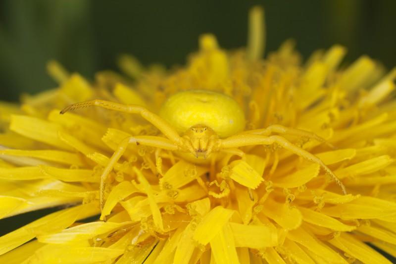 Паук-бокоход, или паук-краб.