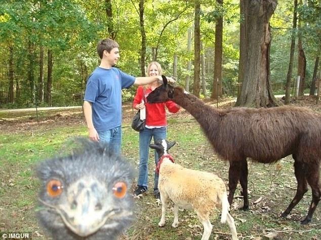 Недовольный тем, что его соседям уделяют больше внимания, страус решил взять все в свои руки.