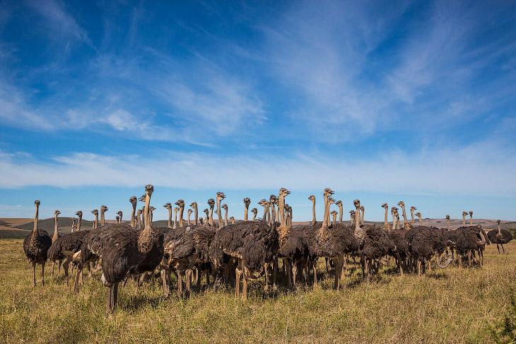 2. Страусы — как известно, нелетающие птицы, зато быстробегающие. В случае опасности они бросаются в