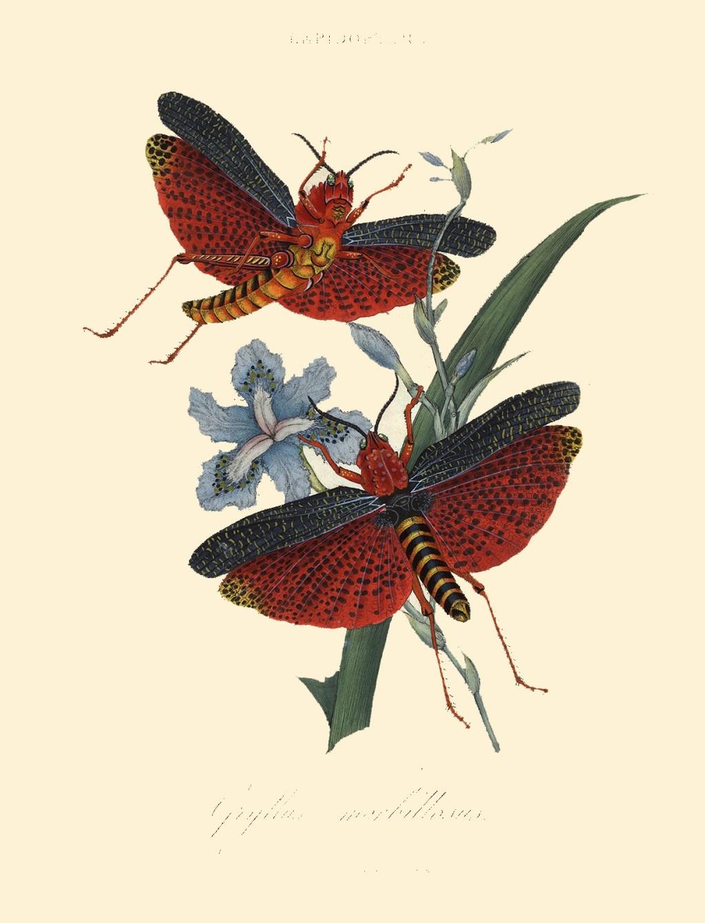 Эдвард Донован. Бабочки. Китай
