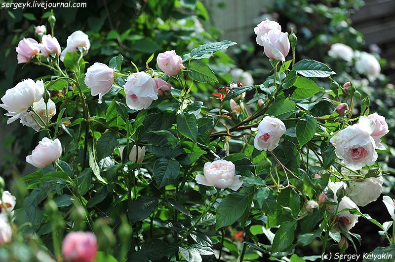 Rosa The Wedgwood Rose (10).JPG