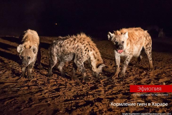 Развлечение не для слабонервных: кормление гиен в Хараре (22 фото)