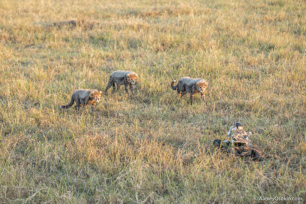 8. Любимым кормом для гепарда считается газель Томсона.
