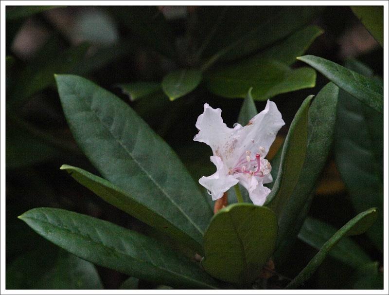 113_Rhododendron.jpg