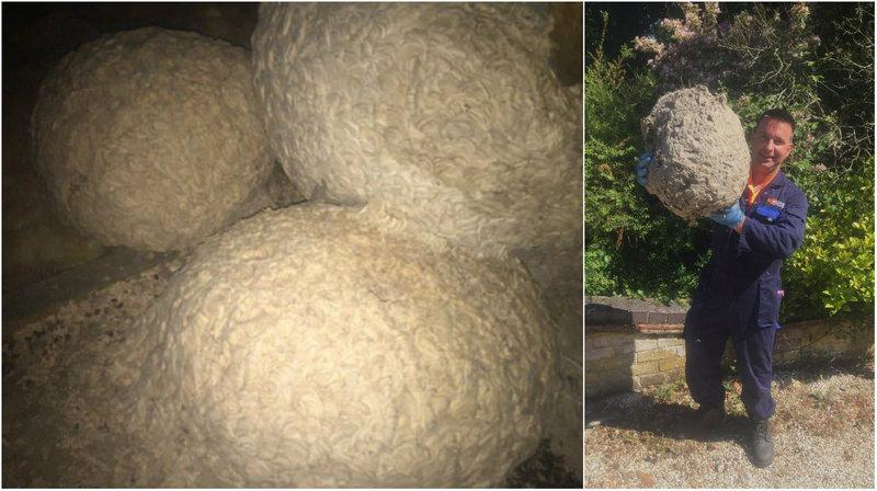 Дезинсектор обнаружил на чердаке десяток осиных гнезд