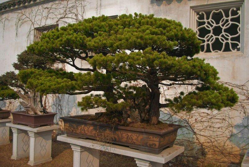 Красивые миниатюрные леса бонсай
