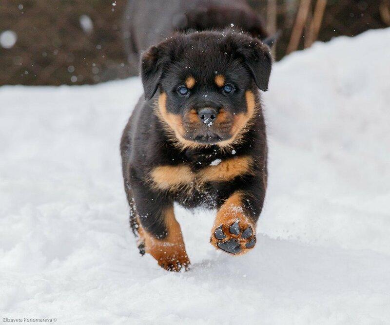 Resultado de imagen para Rottweiler    ходить по снегу