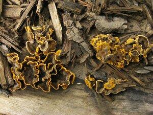 Стереум жестковолосистый (Stereum hirsutum)