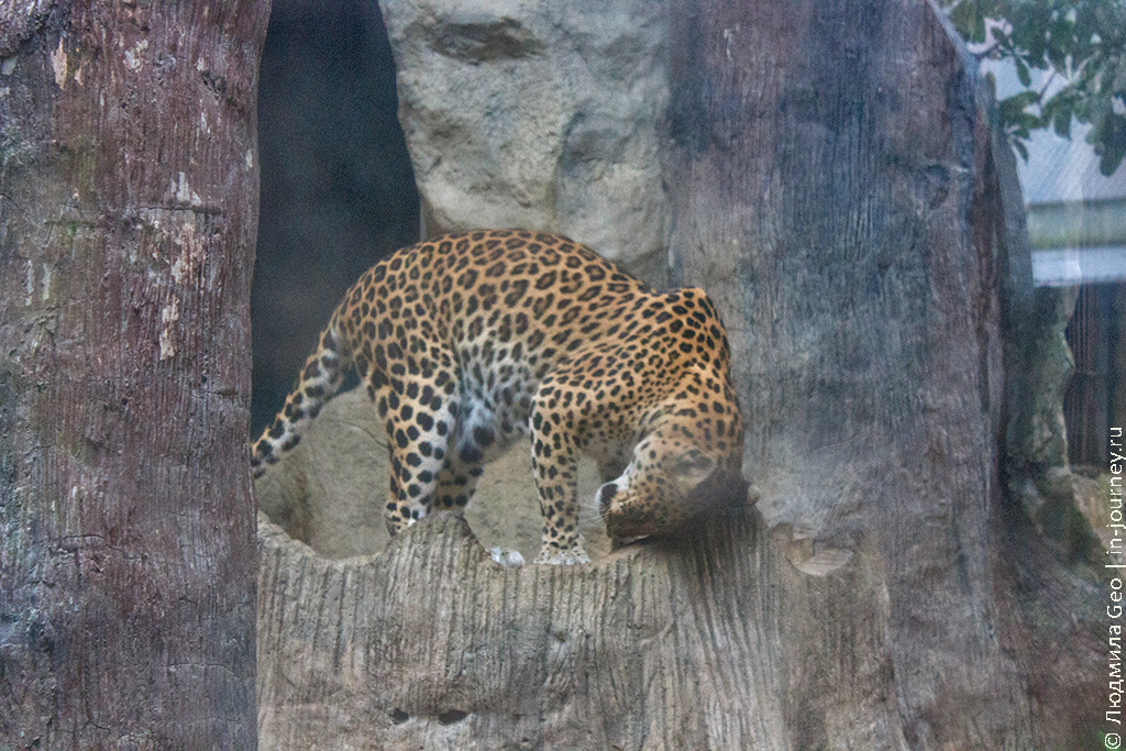 леопард фото в зоопарке