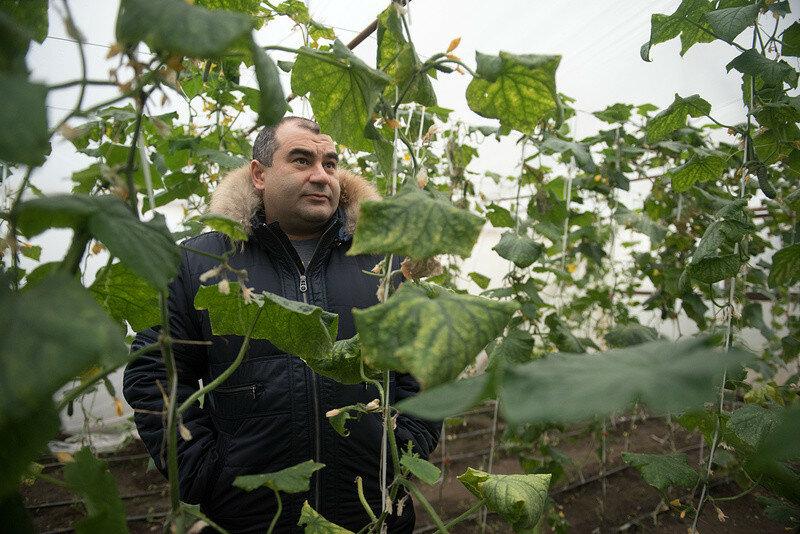 Как в Кабардино-Балкарии выращивают огурцы и помидоры
