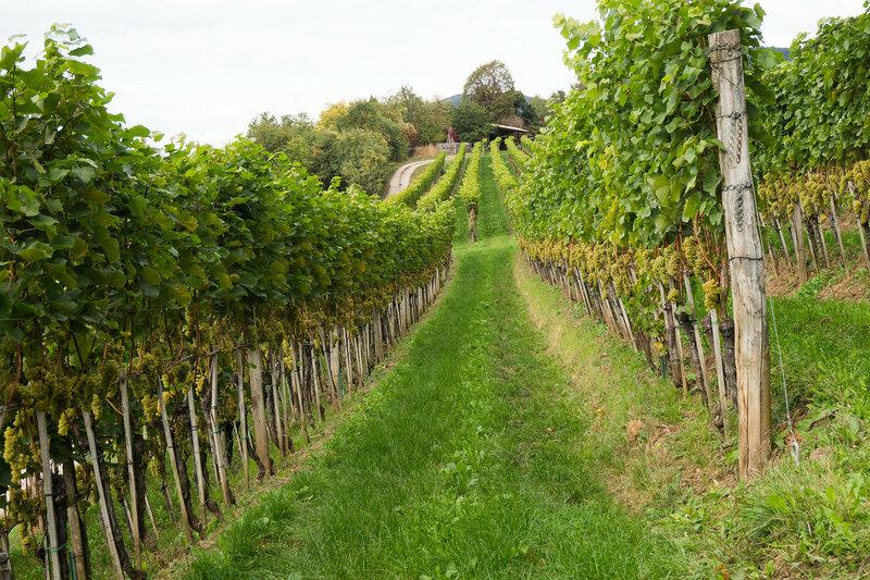виноградник в Альпах, Италия
